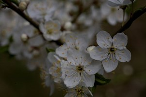 Apple trees need help to achieve pollination.