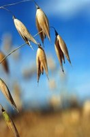 Oats take approximately six months to grow from seed to harvest.