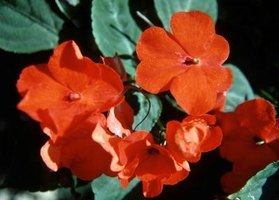 Impatiens are tropical plants that can die quickly when hit by frost.
