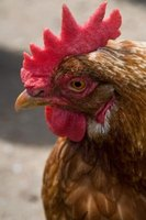 The type of comb a rooster has can be selcted for in breeding.