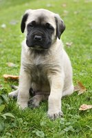 Large-breed puppies, such as a Mastiff, need a comfortable whelping box for delivering young.