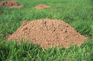 Moles can make a mess of your manicured yard.
