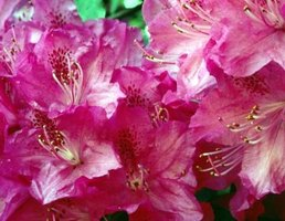 Healthy, mature azaleas aren't difficult to propagate.
