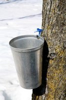 Collecting sap from a maple