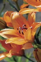 Proper care helps daylilies stay vibrant and attractive.