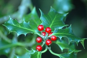 Red holly berries feed hungry birds during the winter.