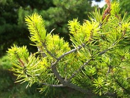 Evergreen trees grow in various climates and soil types.