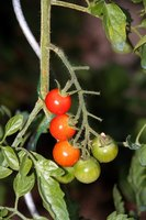 Tomato plants require more sunlight than many plants.