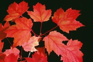 Red maples produce some of the most recognizable foliage of any tree in North America.