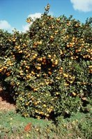 Citrus trees could outlive their productive years.