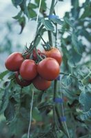In tropical areas some tomato plants live for more than one year.