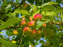 Apple trees must cross-pollinate to produce fruit.