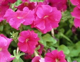 Petunias grow compact and full with care.