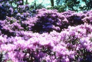 Purple gem rhododendrons create spectacular displays of colorful blooms.