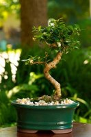 A healthy indoor bonsai tree planted in a shallow pot.
