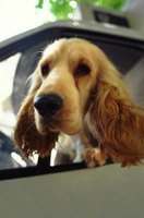 It is safer for dogs to be in a pet booster seat when in the car.