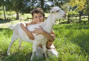 Take steps to keep the goat warm in the winter to keep the goat healthy.