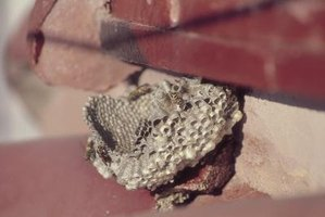 A wasp nest; notice the exposed cells on the bottom.
