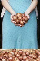 Shallots resemble large, brown garlic cloves.