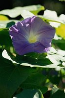 Morning glories are popular, easy-to-grow flowers.