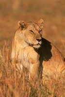 The African lion hunts in groups called prides.