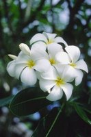 Plumeria has intensely fragrant blossoms.
