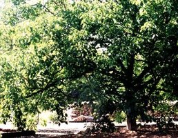 The black walnut is a large shade tree that produces a toxin some garden plants do not like.