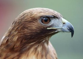 Red-tailed hawks can prey on small animals in your yard.
