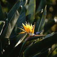Bird of paradise is also called the crane flower.