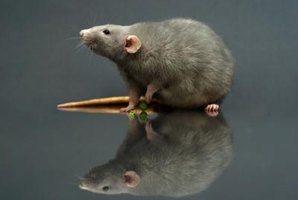The largest rat ever recorded was 13.2 pounds.