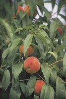 For optimum production, make sure peach trees get sufficient nitrogen.