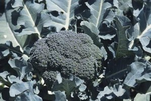 Broccoli plants need 1 to 2 inches of water weekly.