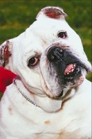 An English bulldog is often associated with the University of Georgia's athletic programs.