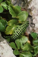 A black swallowtail caterpillar on its food plant.