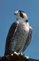 The peregrine falcon is found all over the world, except Antarctica.