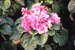 African violets need specialized potting soil, but it works well for other plants.