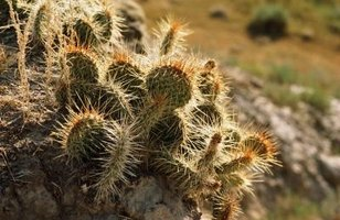 Learn to water a cactus properly to ensure a healthy plant.