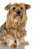 A Yorkshire terrier that has been abused may need house training.