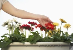 Gerbera blooms can be the size of your hand.