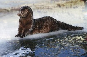 Wild minks are varying shades of brown.