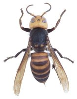 Female wasps carry stingers.