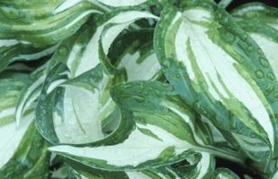 The hosta is a stalwart of the half-shade, half-sun garden.