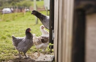 Proper fencing is needed to protect your chickens from predators.