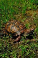 Box turtle eggs can be incubated in an artificial incubator.