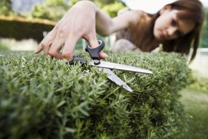 Pruning an evergreen improves its appearance and vigor.