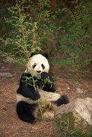 Well-known endangered species include panda bears and tigers.