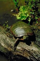 Turtles can often be found sunning on logs and rocks.