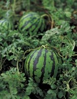 Healthy watermelon plants produce juicy fruit that is a popular summertime snack.