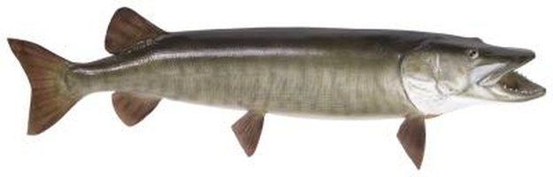 Pickerel often taste muddy if prepared incorrectly.