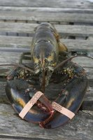 There are several differences when cooking live lobster versus dead lobster.